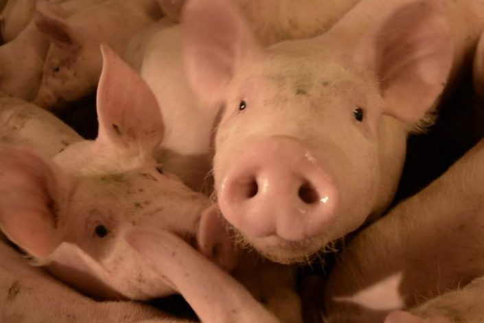 trial report with anco fit in pigs