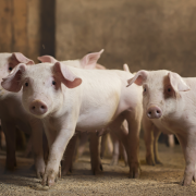 How DON affects feed intake in pigs