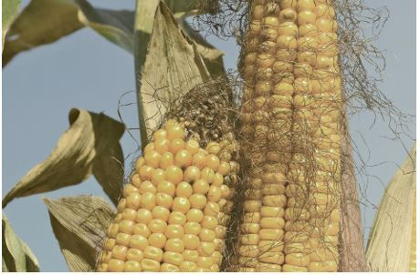 mycotoxins in corn