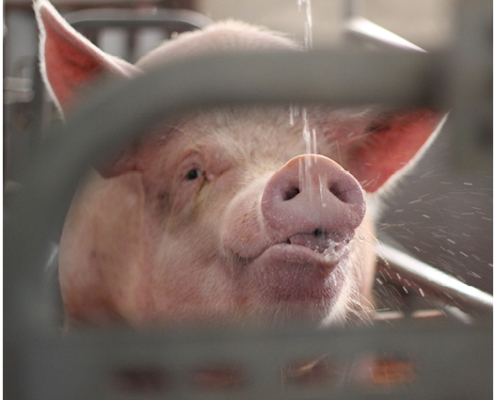 heat stress in sows