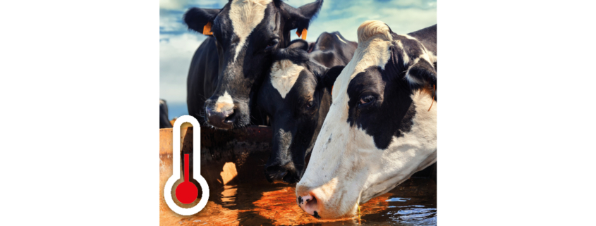 summer heat stress in cows