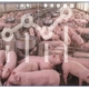 resilience in pigs - genetic potential