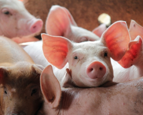 resilience to DON mycotoxin in pigs